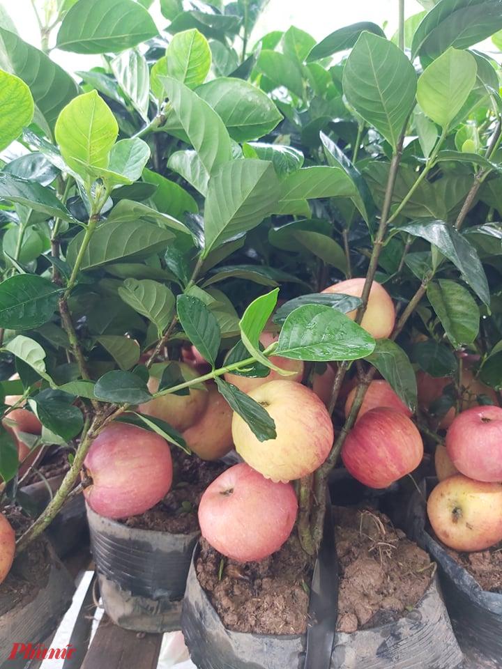 Tuy nhiên, hầu hết những người mua về đến nhà đều phát hiện ra đây là những cây táo giả. Những người bán đã dùng thủ thuật, gắn những trái táo lên một số loại cây như dành dành, dâm bụt, mít… khiến người mua chưa một lần thấy cây táo rất khó phân biệt. Ảnh: Mai Hương