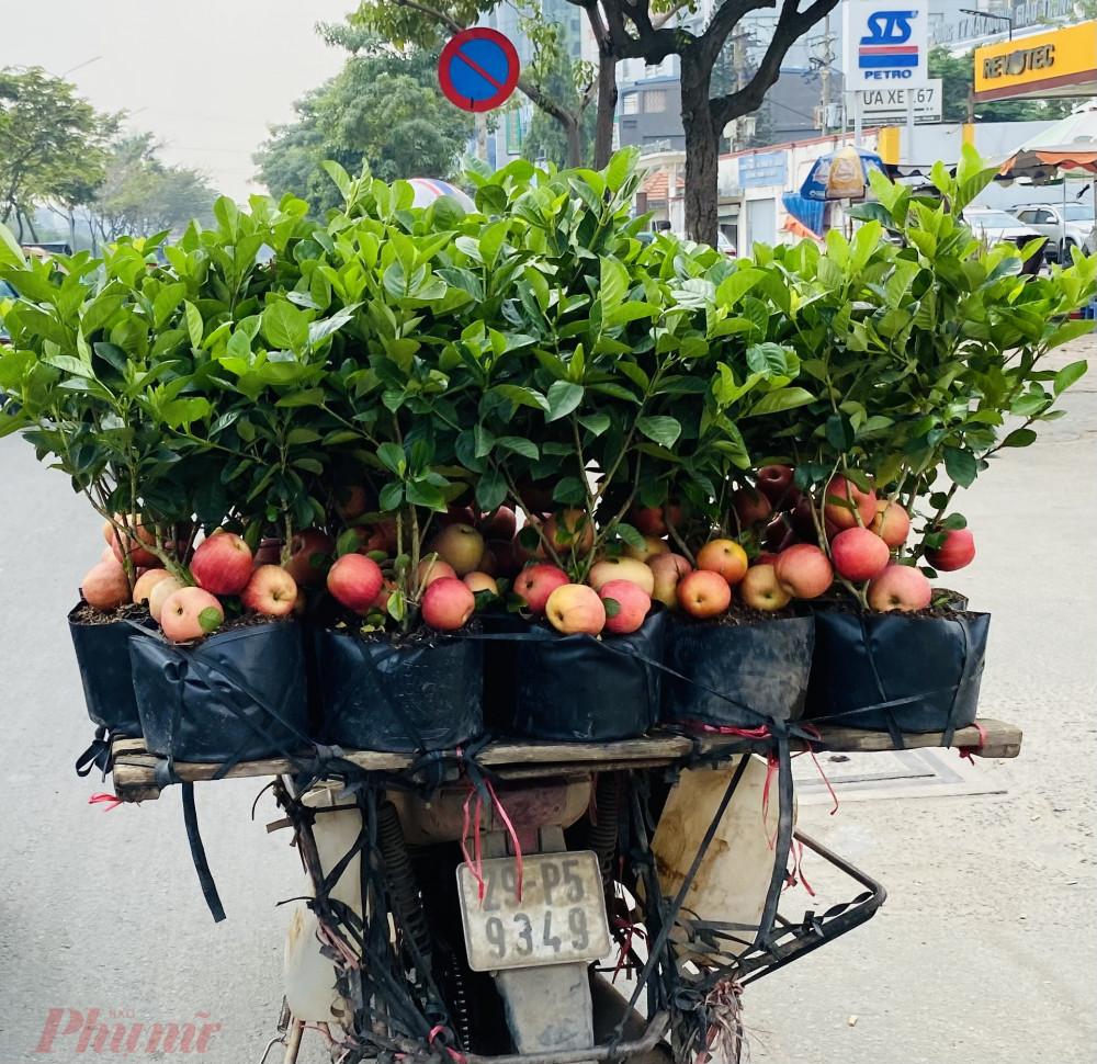 """Thời gian gần đây, trên nhiều tuyến đường tại TPHCM, thường xuyên xuất hiện những xe bán những """"cây táo"""" chi chít trái nhìn khá đẹp mắt. Hầu hết những cây này chỉ cao khoảng 50 – 70 cm, nhưng có từ 4 – 8 trái trên cây."""
