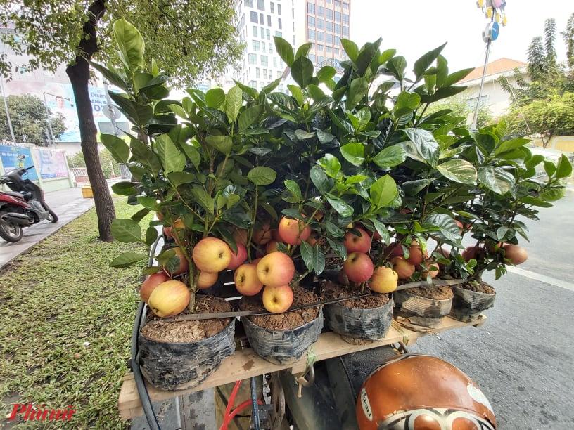 """Giá bán trung bình 200.000 – 300.000 đồng/cây, với những cây lớn hơn, có nhiều trái hơn… những người bán còn """"hét giá"""" lên đến 400.000 – 500.000 đồng/cây. Những """"cây táo"""" này được bán trên đường Nam Kỳ Khởi Nghĩa, đoạn đối diện Viện Pasteur TPHCM sáng ngày 20/1 với giá bình quân 300.000 – 400.000 đồng/cây. Ảnh: Mai Hương"""