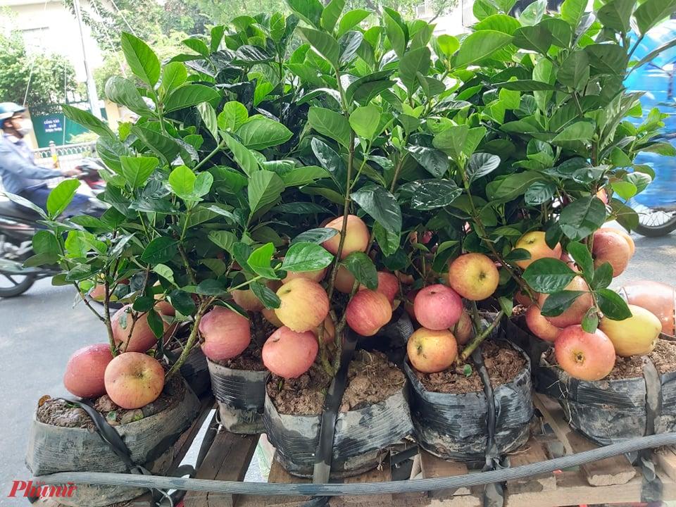 """Với nhiều người dân thành phố, trái táo (loại táo nhập từ các vùng ôn đới nước phương Tây, Trung Quốc…) không lạ vì có thể dễ dàng mua tại các chợ, siêu thị… Nhưng những táo còn nguyên trên cây, mà đều là cây còn rất nhỏ nhìn chẳng khác nào những cây táo bonsai thì lại là điều khá lạ. Chính vì lạ nên không ít người đã bỏ tiền ra mua loại """"táo lùn siêu trái"""" này. Ảnh: Mai Hương"""