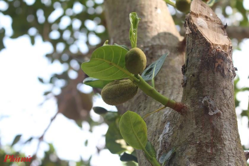 Hoa mít hay còn gọi là quê mít, dái mít là bông đực của cây mít.