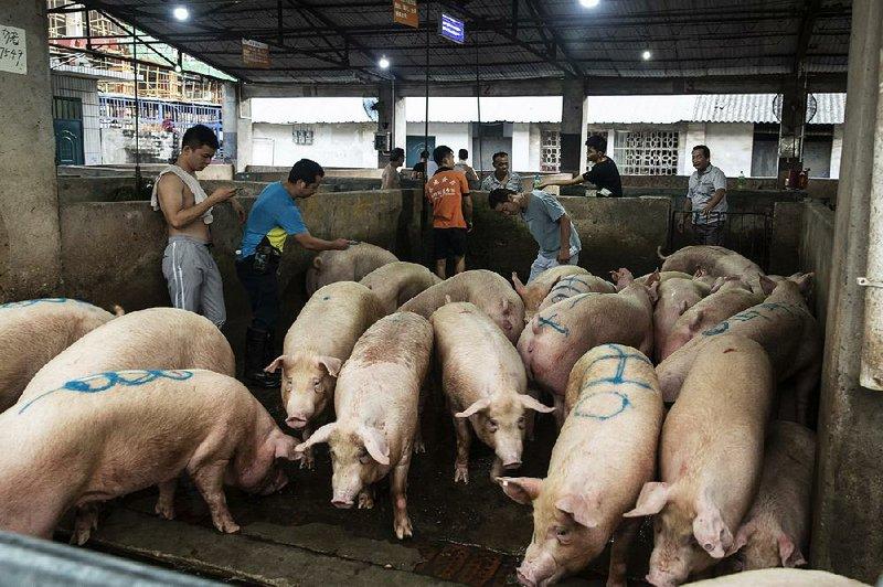 Giai đoạn Tết Nguyên đán đến gần, việc chủng dịch tả heo mới xuất hiện là một vấn đề quan trọng có thể ảnh hưởng đến thị trường thịt heo