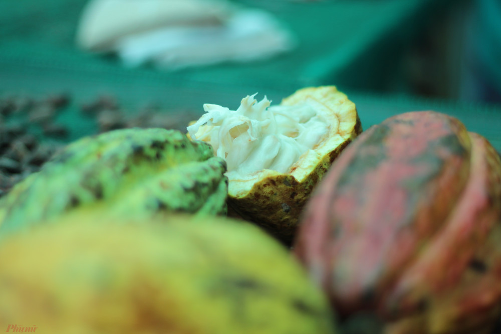 Các dòng cacao khác nhau khi trái chín sẽ có màu khác nhau và hương vị khác nhau.