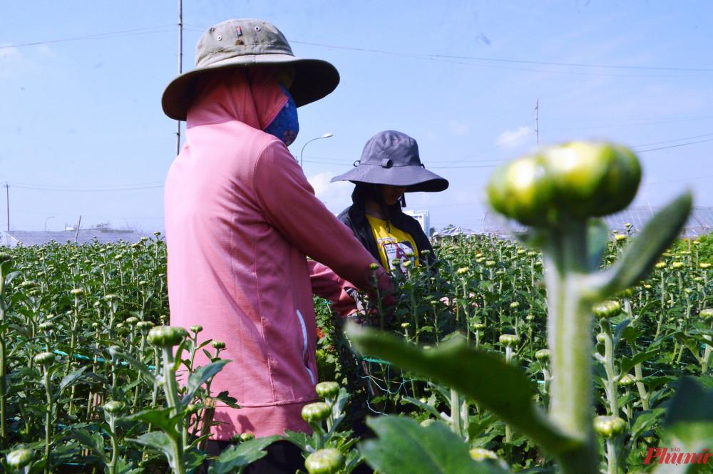 Hai chị em Linh và Thương đang ngắt bớt nụ hoa cúc phụ cha mẹ trong những ngày nghỉ