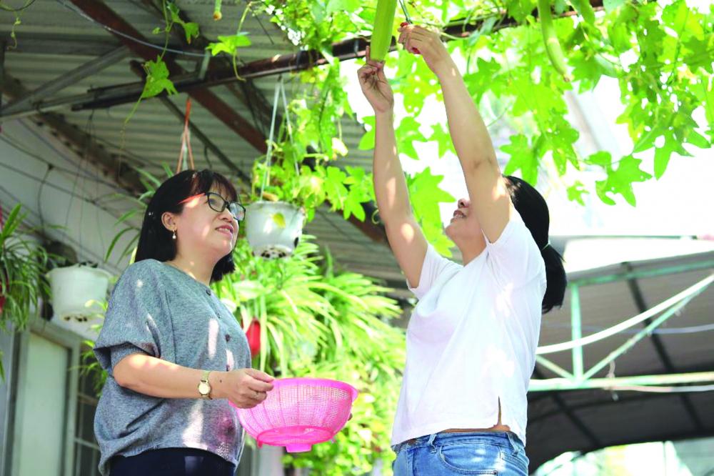 Giàn mướp hương trong khu nhà trọ của chị Võ Thị Trang (trái)