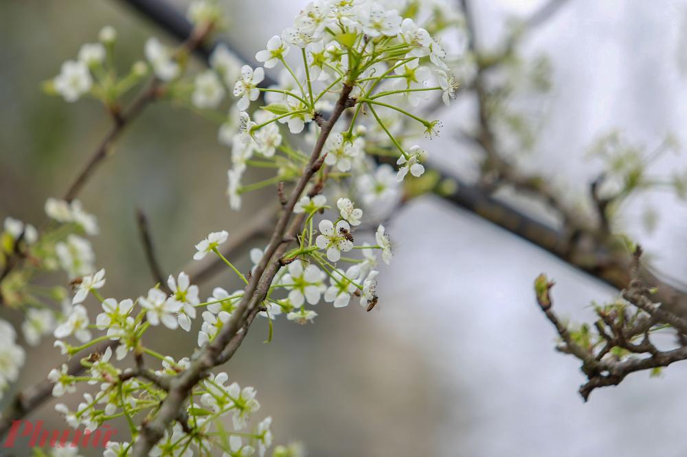 Không giống như những loại hoa khác, hoa lê nở nhiều đợt, mỗi đợt từ 10 đến 15 ngày, nếu mua những cành còn nhiều nụ, có thể chơi được từ 1 đến 2 tháng. Hoa lê có màu trắng tinh khôi, khi nở 5 cánh căng nảy bật ra từ thân cành xù xì. Người dân Thủ đô thích thú với loài này, khi cắm tạo được vẻ sang trọng trong nhà. Hoa lê rừng không chỉ đẹp mà còn mang ý nghĩa phong thủy đặc biệt, biểu trưng cho sự thanh khiết, bình yên và ấm áp trong cuộc sống.