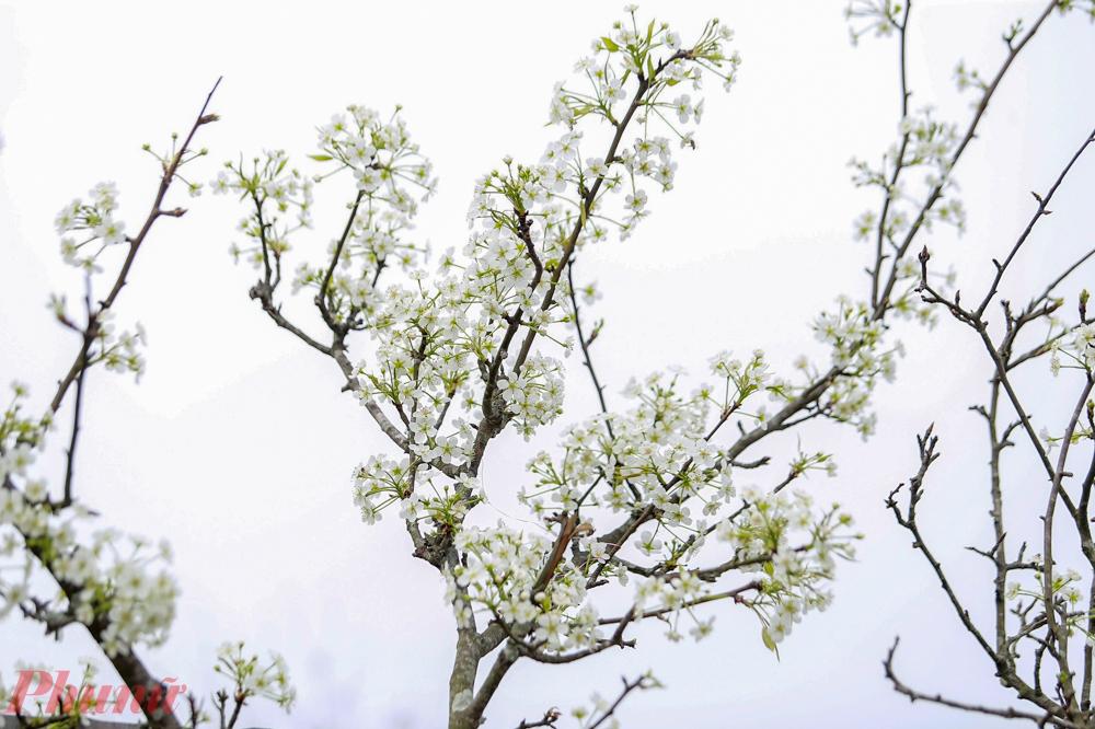 Định được giá nó dựa vào màu hoa, nhiều nụ, thân cành, gốc lâu năm, dáng thế..., chú Tâm bán lê rừng tại chợ hoa Quảng Bá chia sẻ.