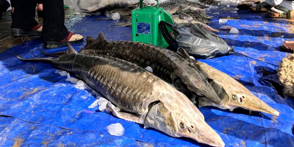 Cá tầm nuôi tại Lâm Đồng từng bán đổ bán tháo tại một số tuyến đường của TP.HCM