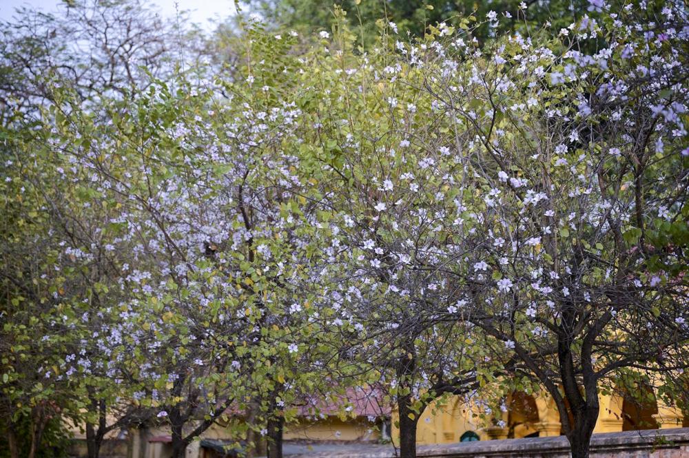 Không phải loài hoa đặc trưng của Hà Nội nhưng hoa ban được người dân Thủ đô yêu mến bởi loài hoa như một báo hiệu những điều tốt đẹp mùa Xuân mang tới.