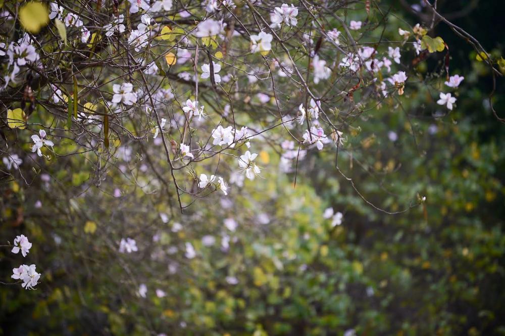 Hoa ban bắt đầu nở lác đác vào đầu mùa xuân (khoảng tháng Ba), rộ nhất vào đầu tháng Tư rồi lụi tàn dần khi tháng Năm về.