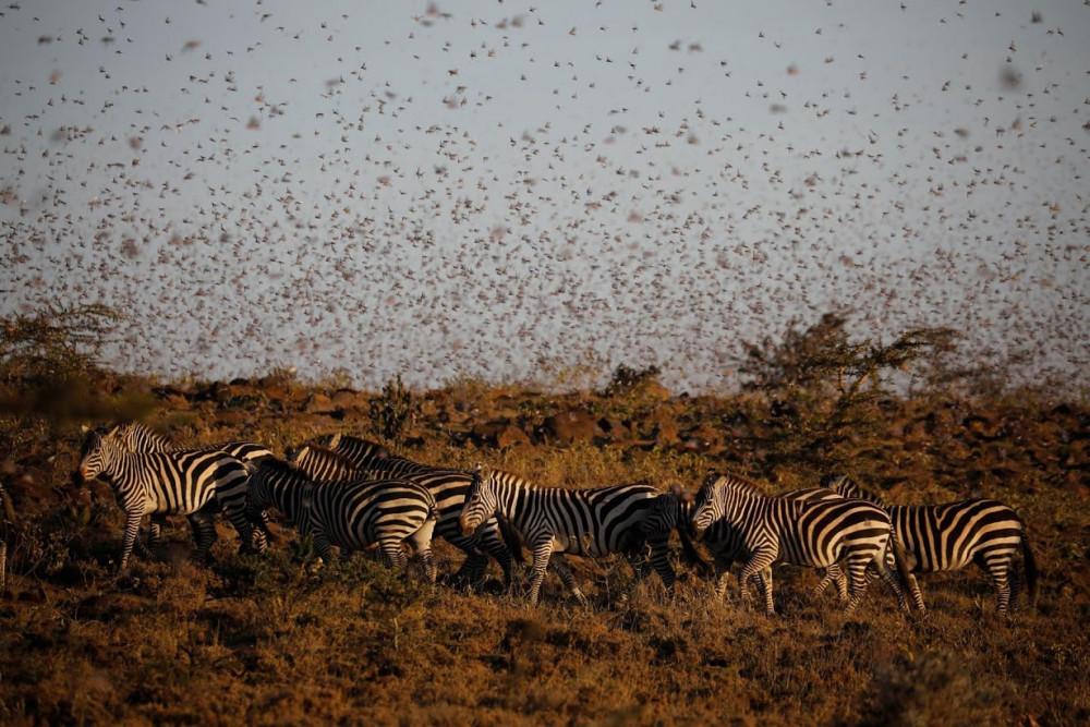 Mỗi bầy châu chấu có thể di chuyển đến 150km mỗi ngày. Mỗi bầy có khoảng 40-80 triệu con trên khoảng 1km vuông.