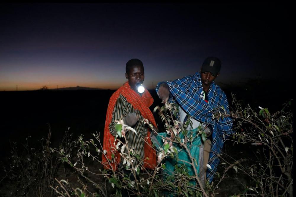 Công ty này trả cho Mejia và những người hàng xóm của anh ta 50 shilling Kenya (0,4566 USD) cho mỗi kg côn trùng. Châu chấu được thu nhặt vào ban đêm bằng đèn đuốc khi chúng đang nghỉ ngơi trên các bụi cây.