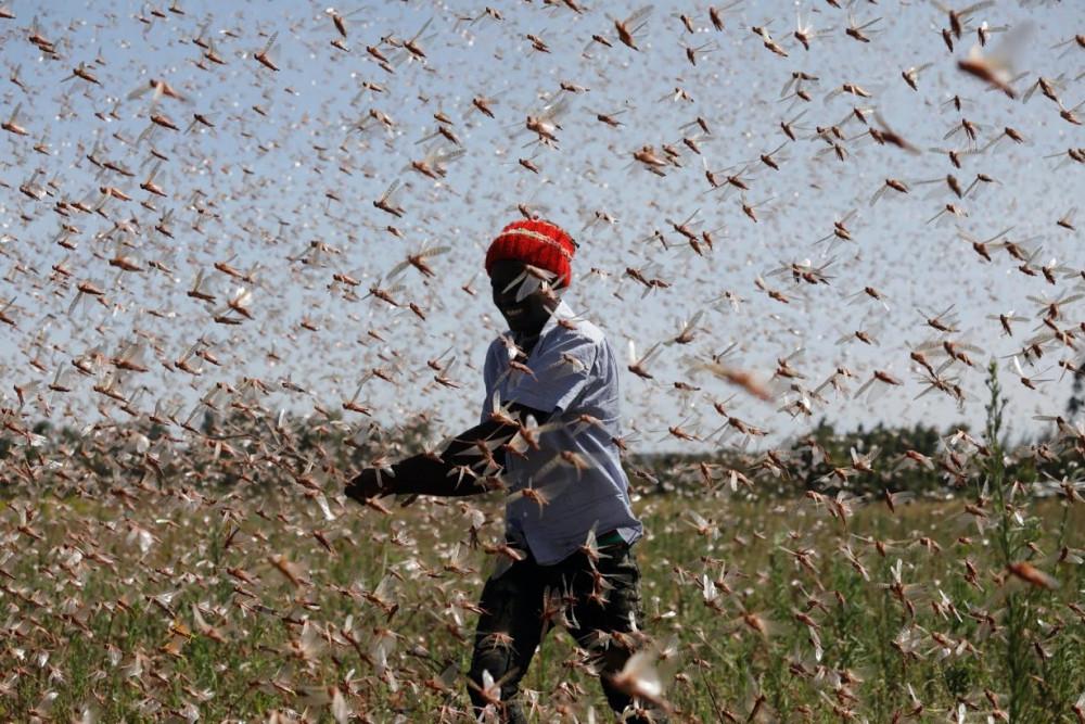 Hàng triệu con châu chấu đang bao vây một người đàn ông đang di chuyển trên cánh đồng cỏ.