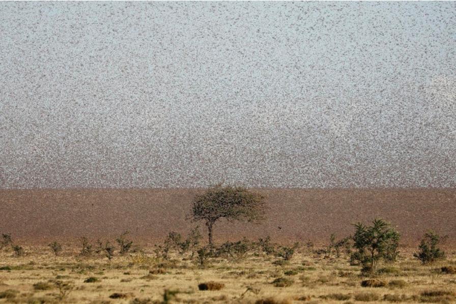 Một vùng đất rộng lớn bị châu chấu xâm chiếm.