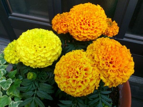 Vạn thọ là loài hoa tượng trưng cho sự trường sinh, may mắn