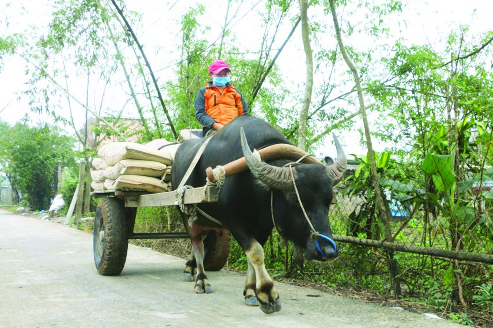 Xe trâu là phương tiện vận chuyển phổ biến đối với người dân làng Hà Úc, xã Vinh An