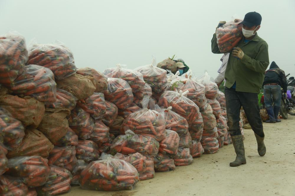 Theo thống kê, hiện nay trên địa bàn toàn tỉnh Hải Dương diện tích, sản lượng rau củ cần thu hoạch đến ngày 3-3 khoảng 1.100ha, sản lượng 55.000 tấn.