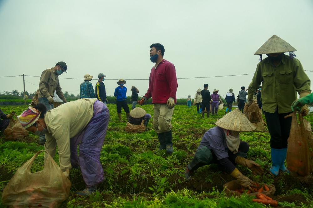 Theo ghi nhận của phóng viên, tại các cánh đồng xã Nhân Huệ, Tp.Chí Linh, bà con đã bắt đầu xuống ruộng thu hoạch, sản xuất nông sản
