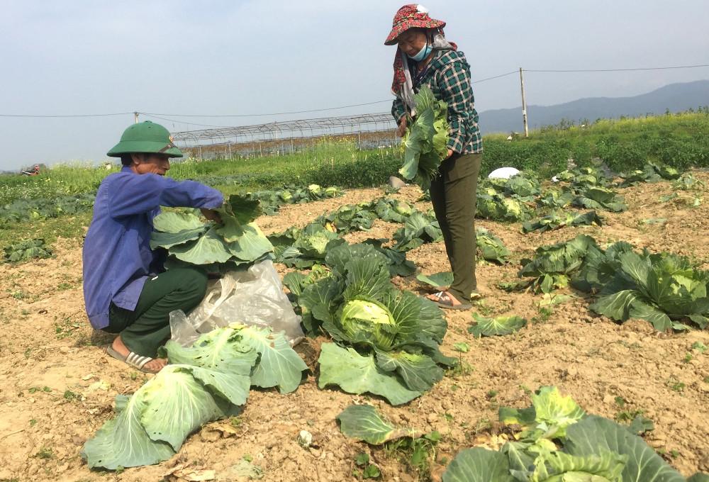 Tiếc của, nhiều hộ dân cắt bắp cải mang đi bán rông nhằm vớt vát tiền giống, phân bón