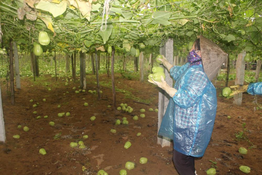 Được mùa song không tiêu thụ được, người dân trồng su su phải hái bỏ qua tránh làm gãy giàn