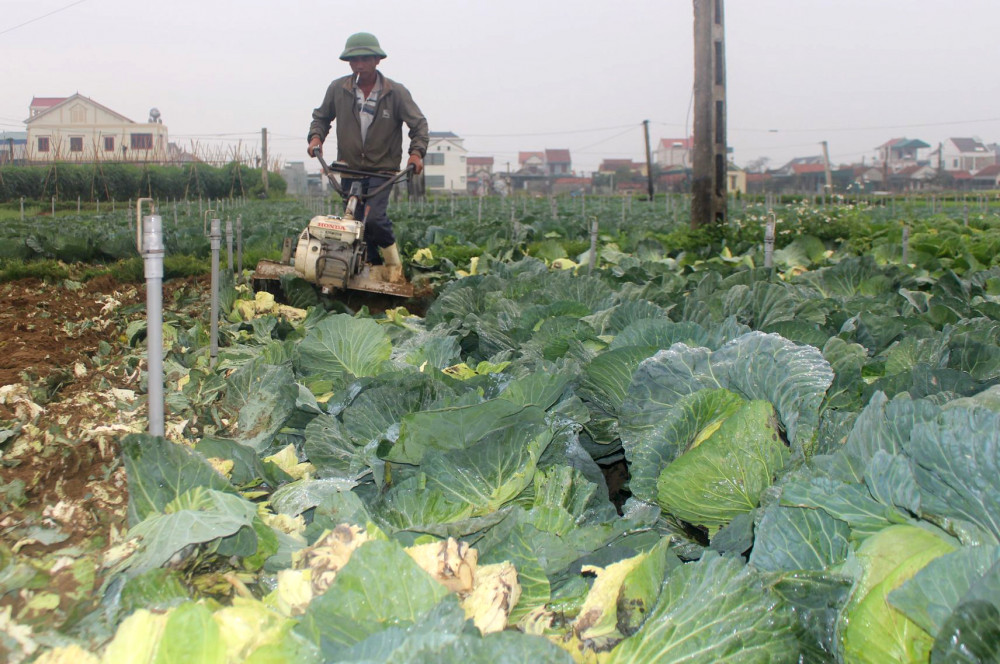 Không tiêu thụ được, nhiều người trồng bắp cải thuê máy cày lấp cả rau để làm phân bón