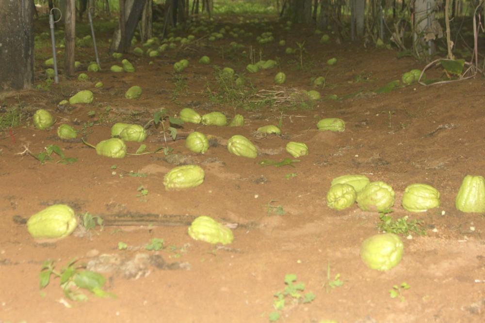 Nông sản khi đến mùa thu hoạch sẽ không để được lâu, nếu không kịp thời tiêu thụ sẽ xảy ra hiện tượng rụng, thối rữa