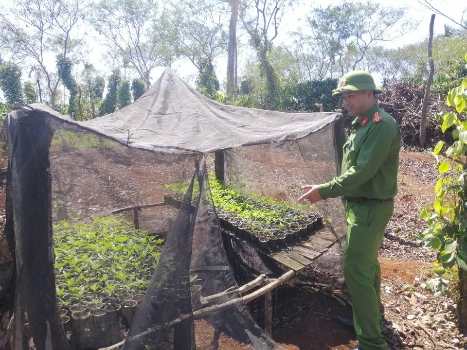 Hiện trường phát hiện vụ trồng hàng nghìn cây cần sa