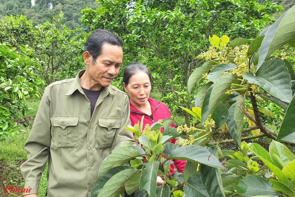 Hai vợ chồng kiểm tra tỉ lệ đậu quả của giống bơ mới được nhân giống thử nghiệm trong vườn