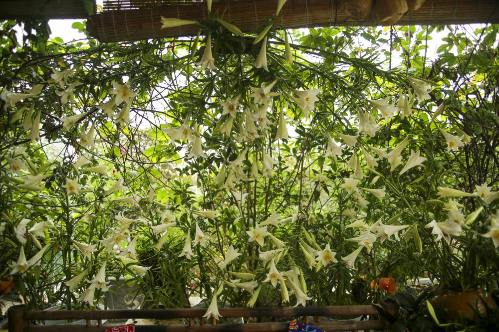 1.500 bông hoa loa kèn trắng được chị Thúy tô điểm cho khu vườn của mình