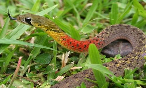 Rắn hoa học trò còn được gọi là rắn cổ đỏ, nữ hoàng bóng đêm