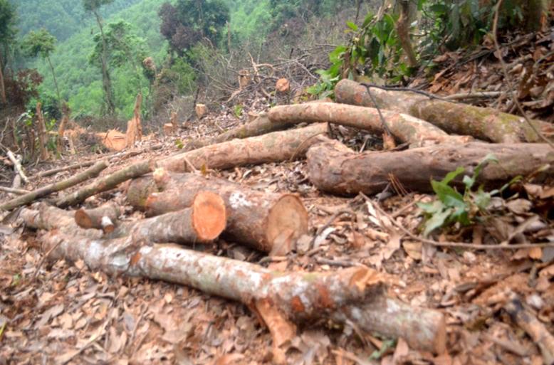 Một khối lượng gỗ đã chặt hạ vẫn còn nằm ngồn ngang trong rừng
