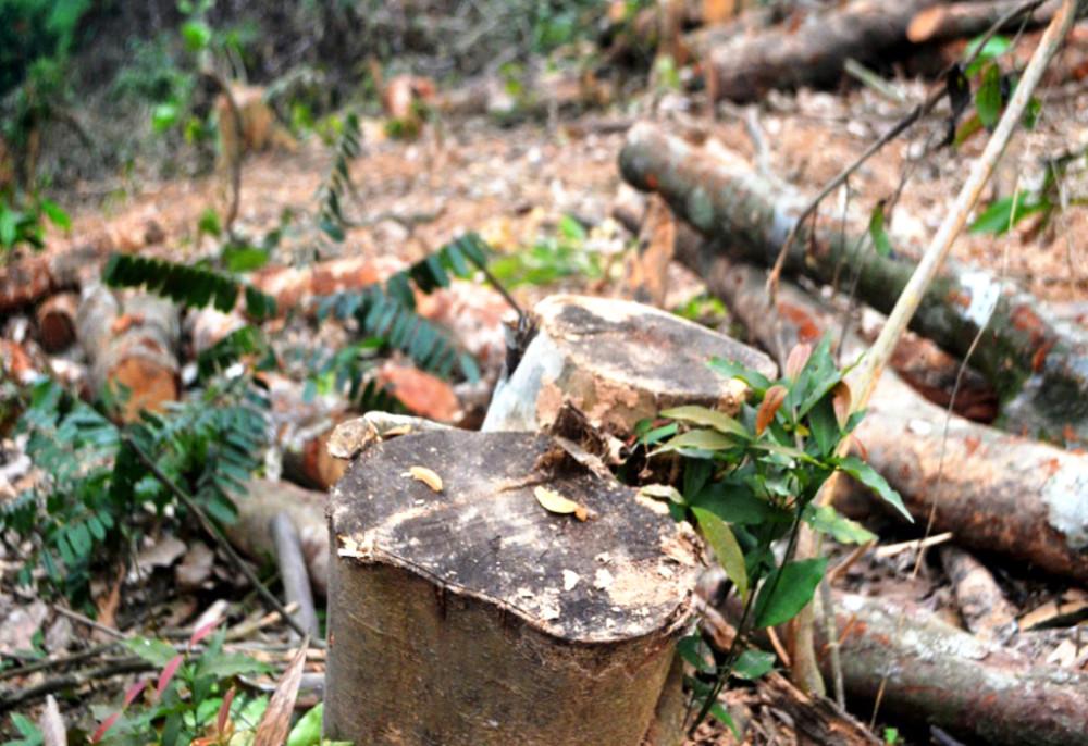 Nhiều cây gỗ lớn bị chặt hạ