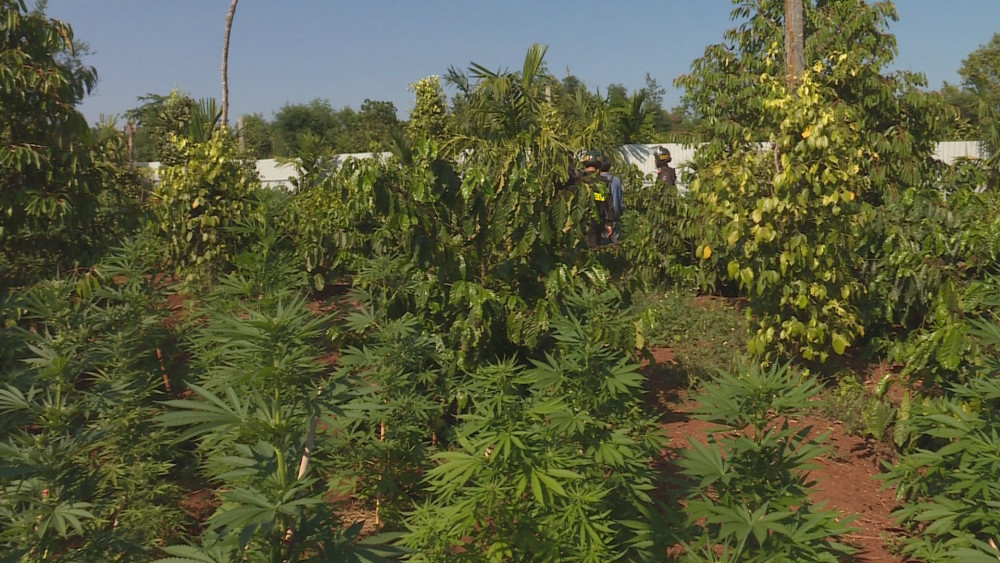 Phòng CSĐT tội phạm về ma túy tiếp tục phát hiện trong rẫy của một hộ dân ở  buôn Kô Tam, xã Ea Tu