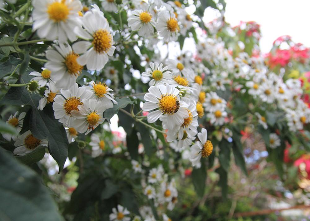 Hoa xuyến chi nở rộ
