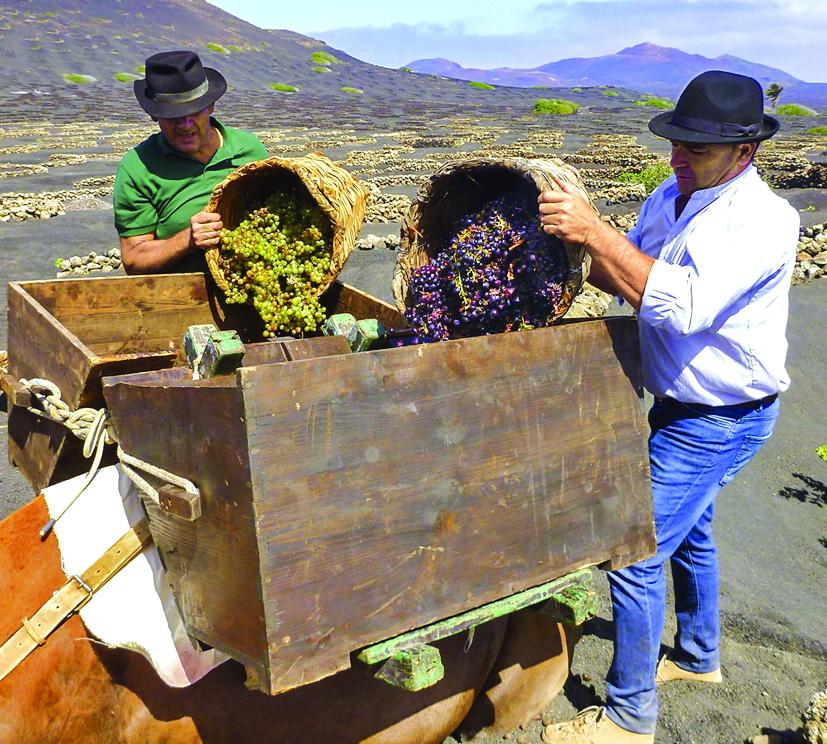 La Geria hiện có gần 2.000 hecta nho