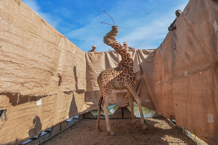 Giải nhất ở hạng mục Ảnh đơn thiên nhiên thuộc về bức ảnh một con hươu cao cổ được giải cứu khỏi lũ lụt nghiêm trọng trên một hòn đảo ở phía tây Kenya