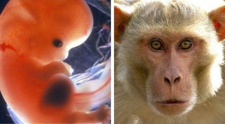 Giới khoa học đang tranh cãi sau khi công trình nghiên cứu về việc lai tạo tế bào giữa người và khỉ được công bố - Ảnh:ancient-origins