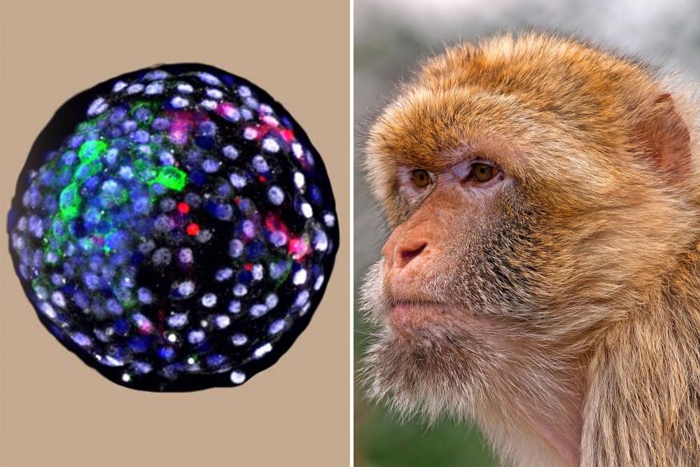 Phôi nang loài lai giữa người và khỉ đang được các nhà khoa học nghiên cứu - Ảnh: Weizhi Ji