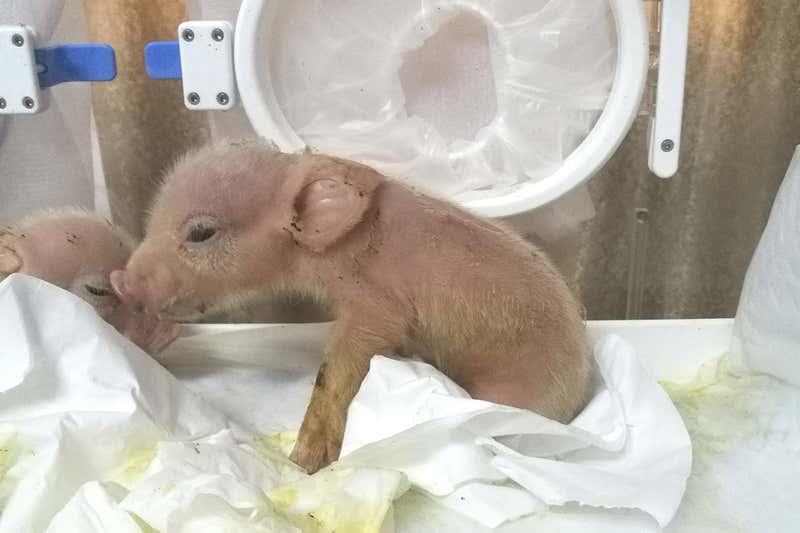 Năm 2019 ở Trung Quốc, một con lợn con được lai tạo từ tế bào của khỉ nhưng đã chết chỉ một tuần sau khi sinh - Ảnh: Tang Hai