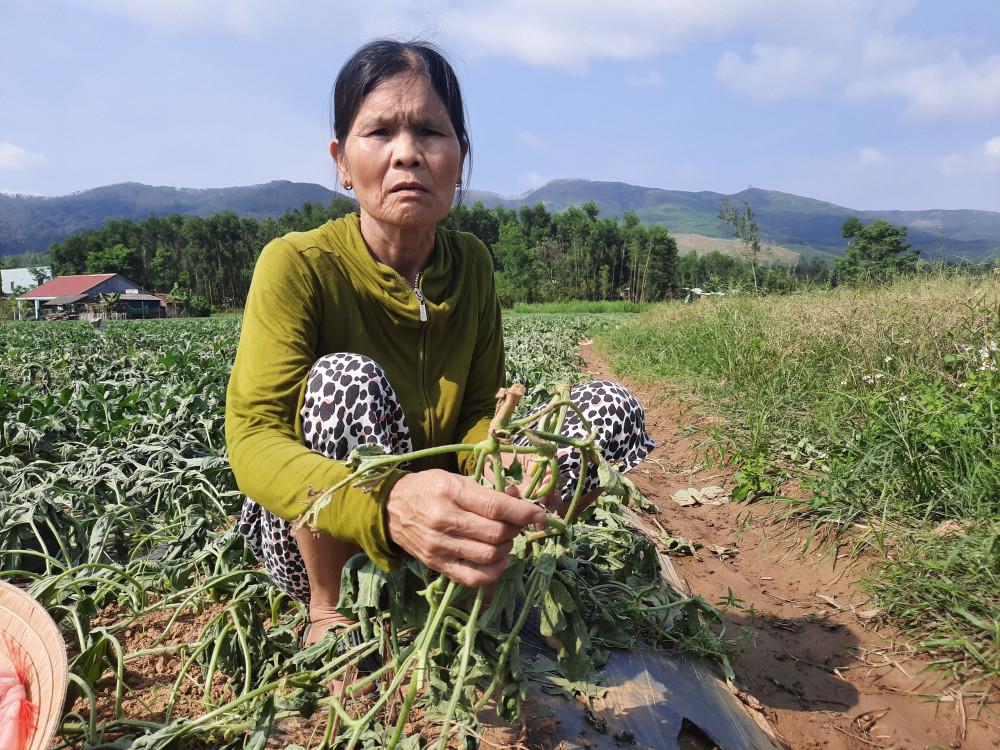 Chỉ còn gần 10 ngày là bước vào vụ thu hoạch nhưng đến nay, gia đình bà Thiện ngậm ngùi nhìn ruộng dưa bị phá nát