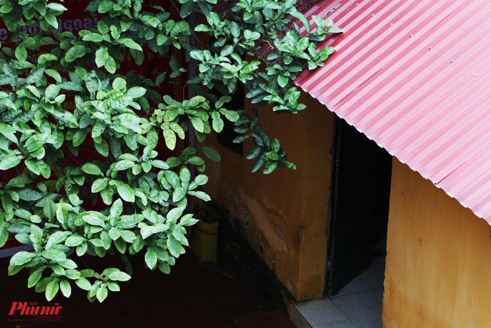 Một cây bưởi với tuổi đời khá lớn được trồng trước sân mang lại bóng mát cho căn nhà.