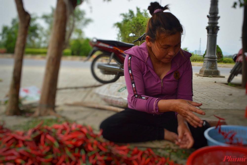 Tiền công lặt cuốn ớt của người lao động giảm đi phân nữa vì giá ớt tươi giảm mạnh