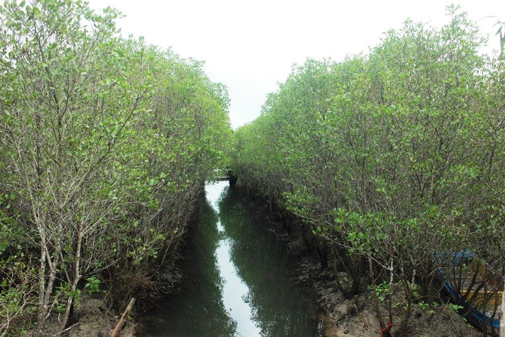 Hàng ngàn m2 đất rừng ngập mặn ven biển đang được trồng mới, phục hồi