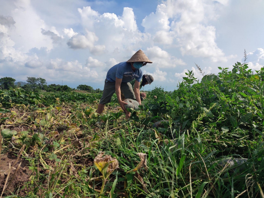 Nhiều hộ trồng bỏ bí thối ngoài ruộng vì thu hoạch về bán không được