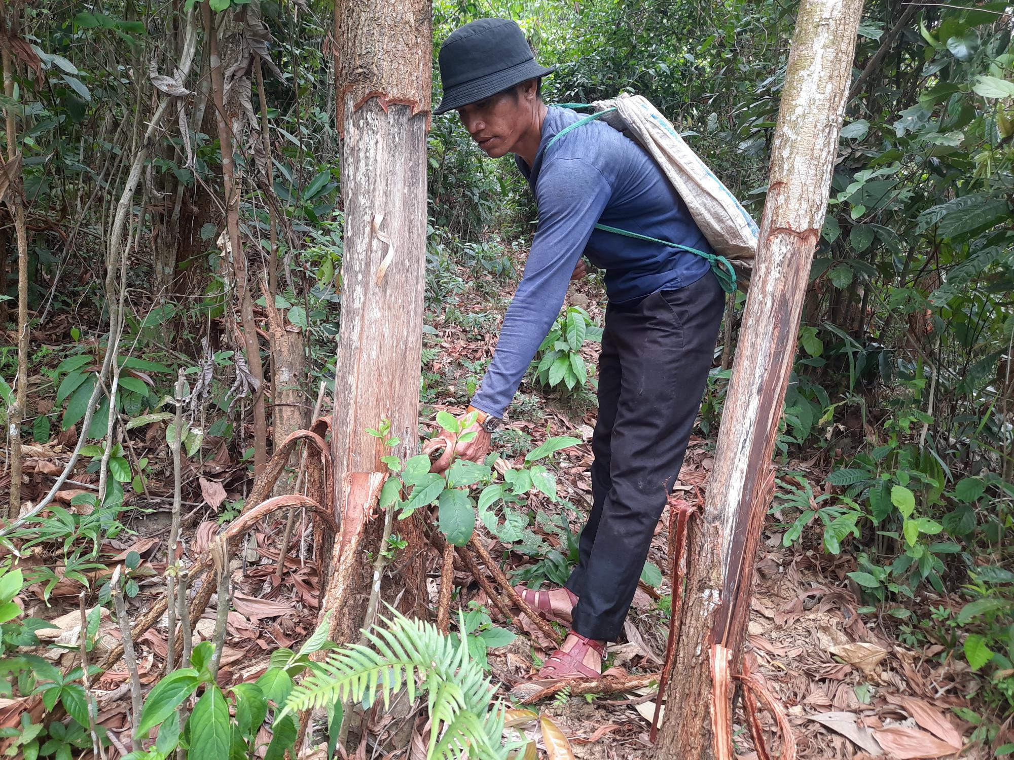 Rẫy keo của gia đình anh Trung Ngọc Chanh bị lưc lượng của công ty Tiến Thiên Tân vào lột vỏ để cây keo chết dần
