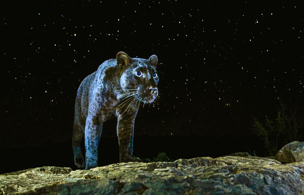 """Theo Will Burrard-Lucas, """"từ  """"báo đen"""" chỉ chung những cá thể mang sắc tố lông đen do đột biến gen thuộc họ Mèo lớn. Trên thực tế, hình thái đột biến này chỉ từng được quan sát thấy ở báo đốm Mỹ và báo hoa mai"""""""