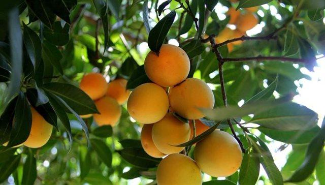 Thanh trà vốn là cây mọc hoang ở vùng Bảy Núi, An Giang, nhưng ngày nay đã được nhân giống, trồng rộng rãi ở Vĩnh Long, nhiều nhất là ở xã Đông Thành, huyện Bình Minh. Ảnh: Huỳnh Nhi
