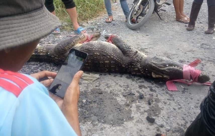 5 con cá sấu được phát hiện ngoài tự nhiên, hiện còn 1 con đi đâu không rõ