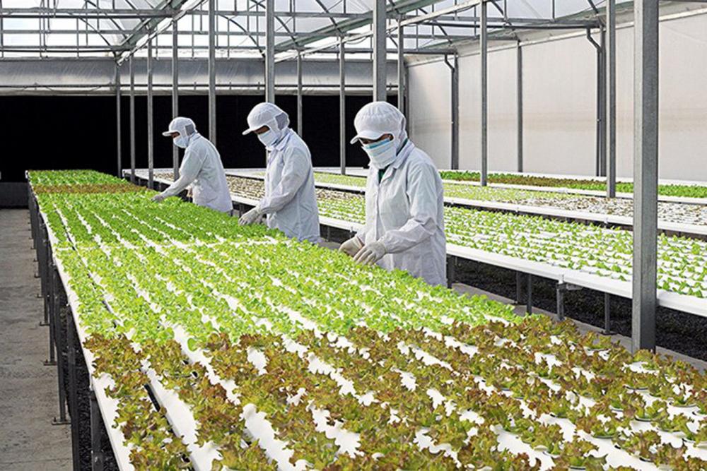 Kỹ thuật viên Công ty TNHH Nông nghiệp xanh Thông Minh (TP.HCM) chăm sóc rau sản xuất theo phương thức công nghệ cao - Ảnh: Phạm Cường