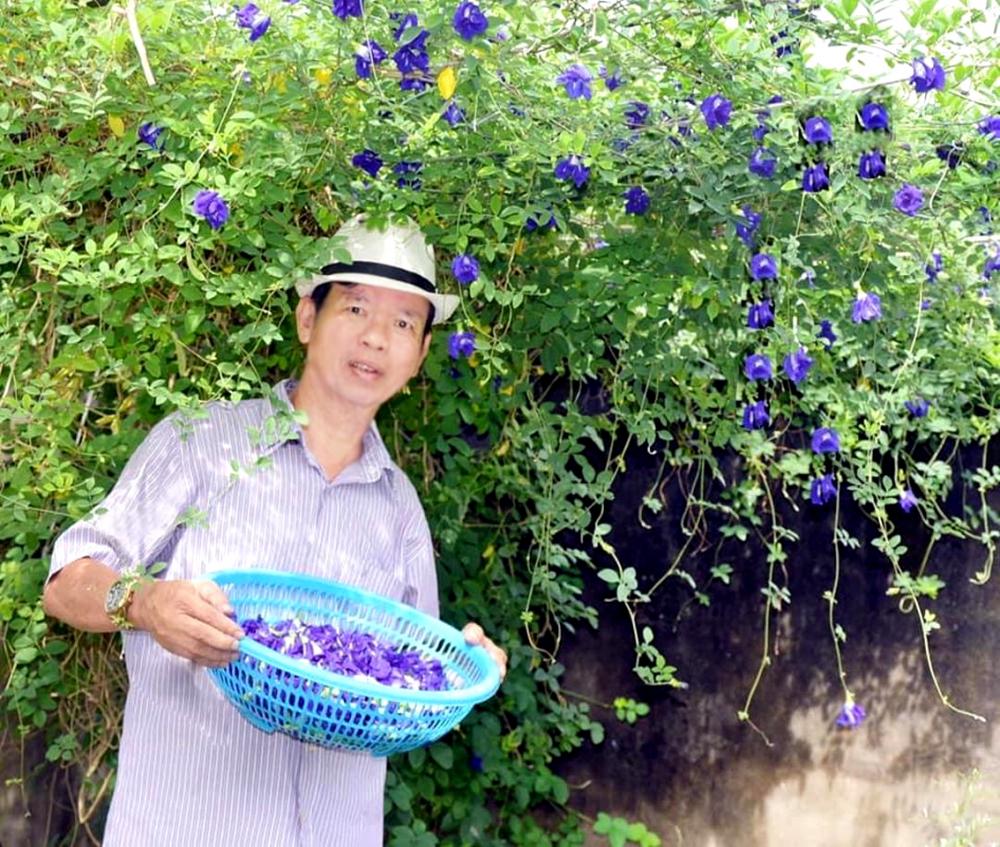 Chú Liệu thu hoạch hoa đậu biếc ở vườn nhà